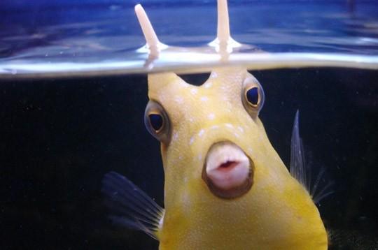 Poisson bizarre et m gafaune australiene for Achat poisson rouge lyon